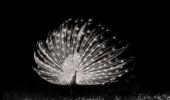 foto bij gedicht Dans van de witte pauw